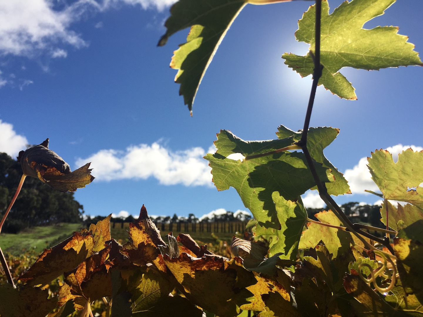 See the vine leaves change with the Autumn season.